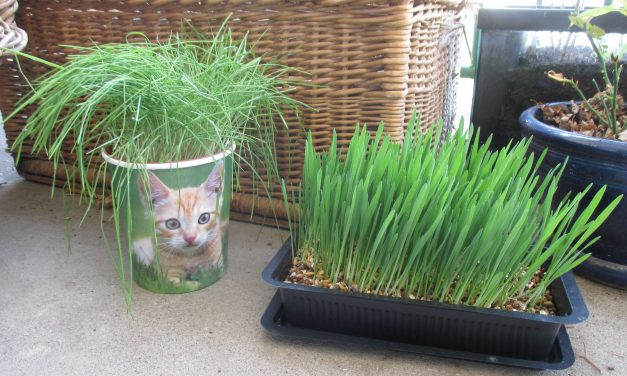 Herbe à chat – Herbe-aux-chats : quelle différence ?