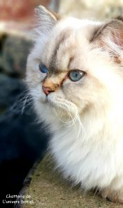 Chat_Race_British_longhair_blanc_min