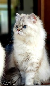 chat_race_british_blanc_longhair_poil_long