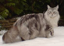 poids chat adulte maine coon