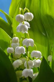 plante_toxique_chat_photo_muguet_jaimetropchat_jaime_trop_chat_3