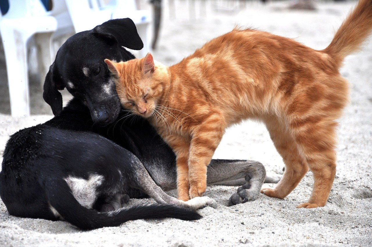 adaptation-chien-chat