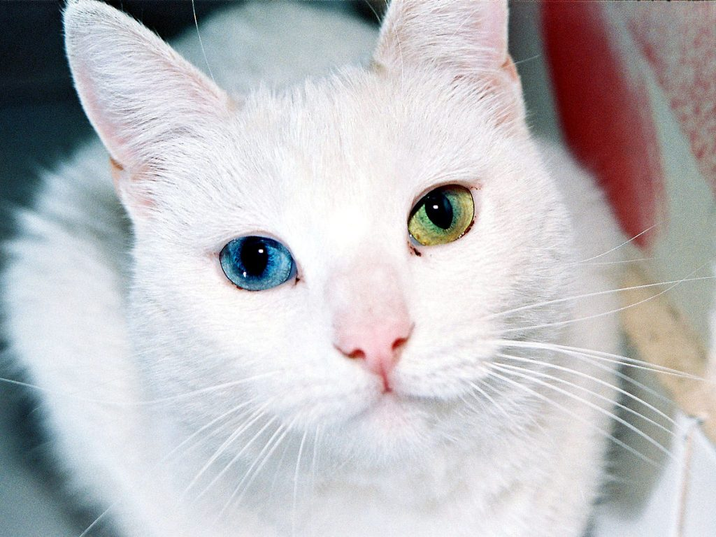 chat-yeux-vairons
