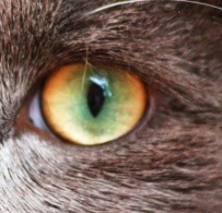 oeil dichromatique chat