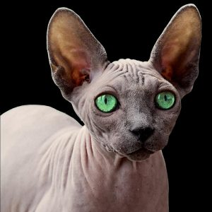chat sphynx aux yeux verts