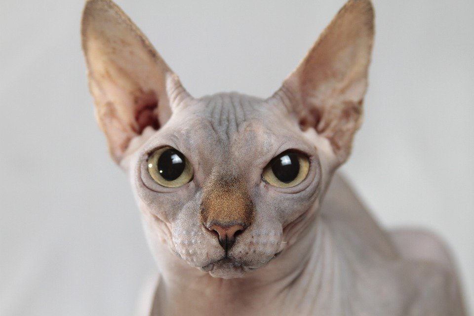 chat sans poil - chat sphynx